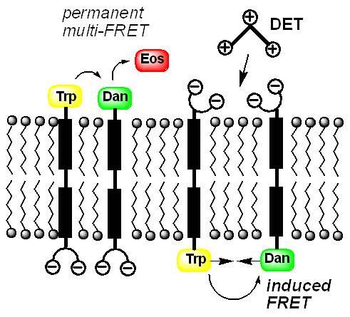 Künstliche DNA-Erkennung durch künstliche Liganden für die große Furche