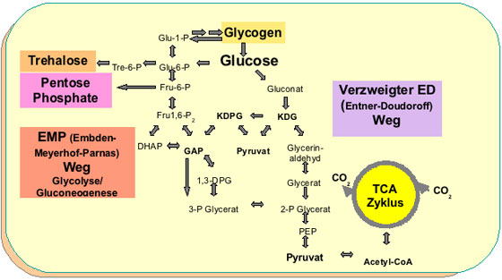 central carbohydrate metabolism ccm in hyperthermophilic