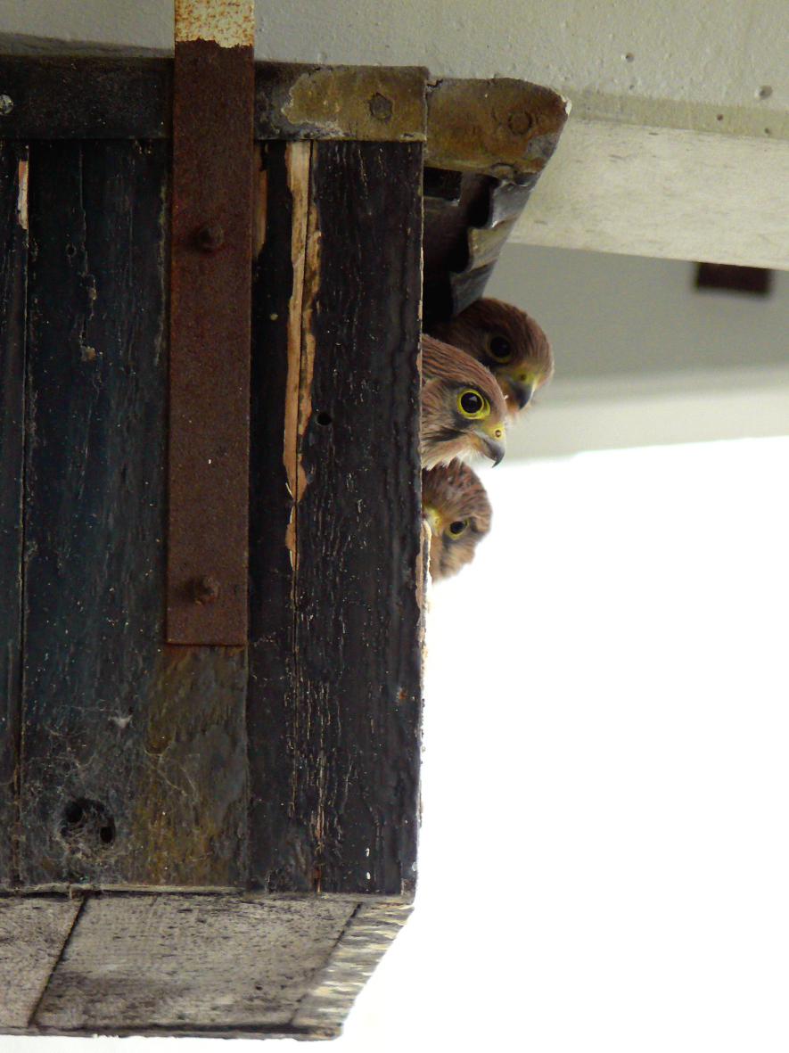 Neugierige Turmfalkenkinder. Foto: Marcus Schmitt ©